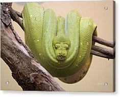 Green Tree Python Acrylic Print by Suzanne Gaff