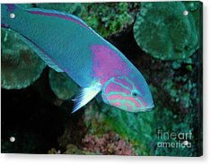 Green Wrasse On Coral Reef Acrylic Print by Sami Sarkis