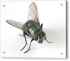 Greenbottle Fly Acrylic Print by Dr Jeremy Burgess
