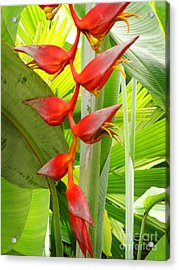 Greenhouse Heliconia Acrylic Print by Stephen Mack