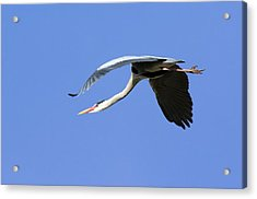Grey Heron Flying Acrylic Print by Duncan Shaw