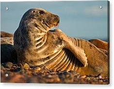 Grey Seal Halichoerus Grypus Watching Acrylic Print