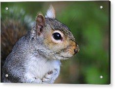 Grey Squirrel Acrylic Print by Colin Varndell