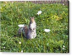 Grey Squirrel Acrylic Print by Georgette Douwma