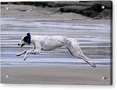 Greyhound - Flying Acrylic Print by Thomas Maya