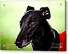 Greyhound Acrylic Print by The DigArtisT