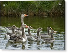 Greylag Goose Anser Anser Couple Acrylic Print by Willi Rolfes