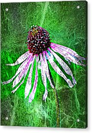 Gritty Coneflower Acrylic Print by Marty Koch