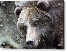 Acrylic Print featuring the photograph Grizzley - 0015 by S and S Photo