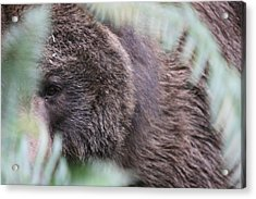 Acrylic Print featuring the photograph Grizzley - 0016 by S and S Photo