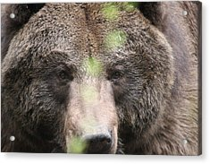 Acrylic Print featuring the photograph Grizzley - 0017 by S and S Photo