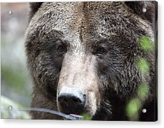 Acrylic Print featuring the photograph Grizzley - 0018 by S and S Photo