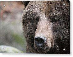 Acrylic Print featuring the photograph Grizzley - 0019 by S and S Photo
