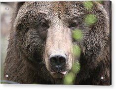 Grizzley - 0020 Acrylic Print by S and S Photo