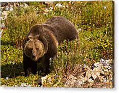Grizzly 1 Acrylic Print by Mark Kiver