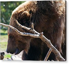 Grizzly Bear Acrylic Print by Kevin Bone