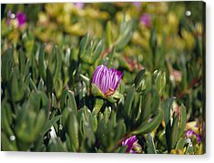 Ground Cover Succulent Pig Face Acrylic Print by Jason Edwards