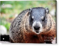 Groundhog Acrylic Print
