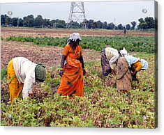 Groundnut Picking By Women Acrylic Print by Johnson Moya
