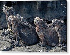 Group Of Marine Iguana Lying On Rock Acrylic Print by Sami Sarkis