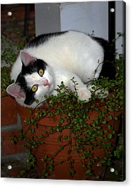 Growing A Kitten Acrylic Print by Skip Willits