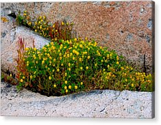 Acrylic Print featuring the photograph Growing In The Cracks by Brent L Ander