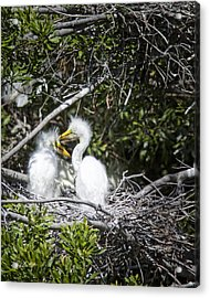 Growing Nestlings Acrylic Print by Phill Doherty