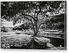 Grown Into The Rock Acrylic Print by Lisa  Spencer