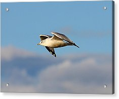 Gull Acrylic Print by Kevin Schrader