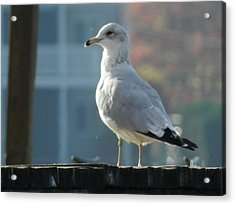 Gull Smiling Acrylic Print by Dennis Leatherman