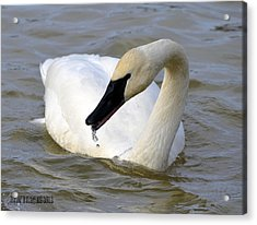 Acrylic Print featuring the photograph Gurgler by Brian Stevens