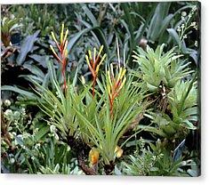 Guzmania Dissitiflora Acrylic Print