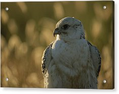 Gyrfalcon Falco Rusticolus In Its White Acrylic Print by Joel Sartore