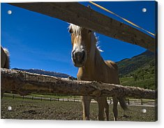 Haflinger Horse Looks Through A Fence Acrylic Print by Todd Gipstein