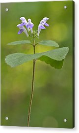 Acrylic Print featuring the photograph Hairy Skullcap II by JD Grimes