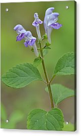 Acrylic Print featuring the photograph Hairy Skullcap by JD Grimes