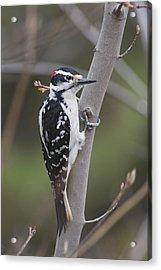Hairy Woodpecker Picoides Villosus Acrylic Print by Amy Kay