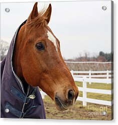 Acrylic Print featuring the photograph Handsome Horse by Denise Pohl