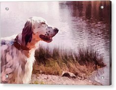 Handsome Hunter. English Setter Acrylic Print by Jenny Rainbow