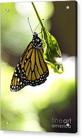 Hanging On  Acrylic Print