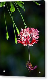 Hanging Coral Hibiscus Acrylic Print by Lehua Pekelo-Stearns