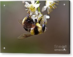 Hanging With The Bumble Bee Acrylic Print by Mitch Shindelbower