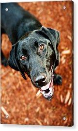 Happy Black Labrador Dog Outside Acrylic Print by Anna Hoychuk