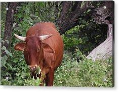 Happy Cow Acrylic Print