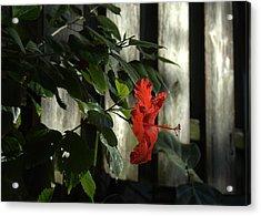 Happy Hibiscus Acrylic Print by Al Cash