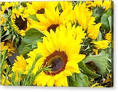 Happy Sunflowers Acrylic Print by Dina Calvarese