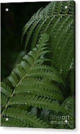 Hapuu Pulu Hawaiian Tree Fern - Cibotium Splendens Acrylic Print by Sharon Mau