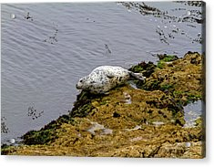 Acrylic Print featuring the painting Harbor Seal Taking A Nap by Sharon Nummer
