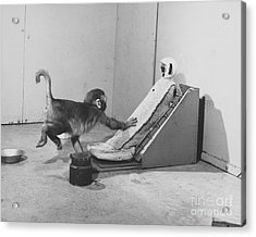 Harlow Monkey Experiment Acrylic Print by Science Source