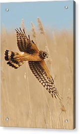 Acrylic Print featuring the photograph Harrier Over Golden Grass by William Jobes